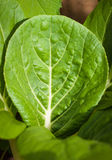 Close-up of a bok-choy leaf Stock Photography