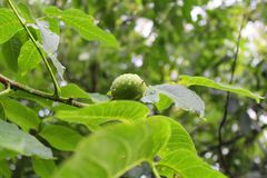 Green walnut on a branch with raindrops Royalty Free Stock Images