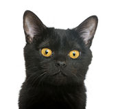 Close-up of a Bombay kitten Royalty Free Stock Photography
