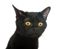 Close-up of a Bombay kitten looking away Stock Photos