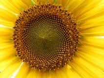 Close up bonito comum do girassol Imagens de Stock Royalty Free