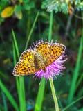 Close up bonito da borboleta na passagem de Gemmi em Suíça fotografia de stock royalty free