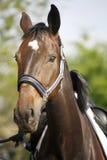 Close up bonito da cabeça de cavalo do esporte no evento de salto da mostra Fotografia de Stock Royalty Free