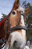 Close up bonito da cabeça de cavalo do trabalho por Peter J Restivo foto de stock royalty free