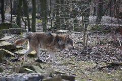 Close up bonito de um lobo selvagem em uma floresta em Alemanha fotografia de stock royalty free