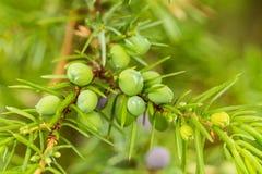 Close up bonito de um ramo do zimbro em um fundo natural após a chuva imagens de stock royalty free