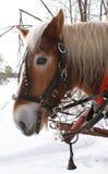Close up bonito do cavalo de trabalho no inverno por Peter J Restivo Imagens de Stock