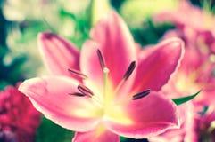 Close up bonito do lírio Imagens de Stock Royalty Free