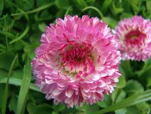 Close-up bonito do rosa e o branco do crisântemo em um fundo da grama verde fotos de stock