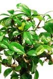 Close-up bonsai tree Stock Images