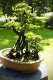 Close up of a bonsai tree Royalty Free Stock Photos