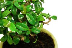 Close-up bonsai tree in the yellow pot Stock Photos