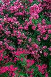 Close up booming pink oleander nerium. Pink blooming flowers in summer, Spain. beautiful oleander background wallpaper Stock Image