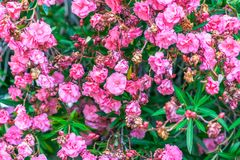 Close up booming pink oleander nerium. Pink blooming flowers in summer, Spain. beautiful oleander background wallpaper Royalty Free Stock Photography