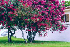 Close up booming pink oleander nerium. stock photos