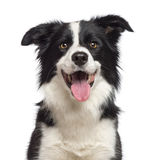 Close-up of Border Collie, 1.5 years old Royalty Free Stock Image