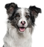 Close-up of Border Collie, 11 months old Stock Photos