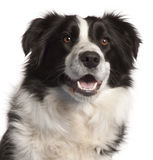 Close-up of Border Collie, 14 months old Stock Photography