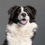 Close-up of Border Collie, 14 months old Royalty Free Stock Image