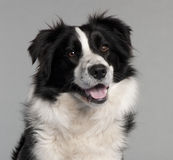 Close-up of Border Collie, 14 months old Stock Photo
