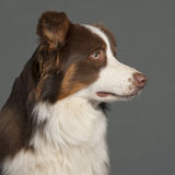 Close-up of Border Collie Royalty Free Stock Photography