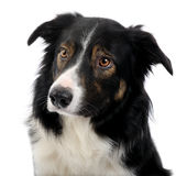 Close-up on a Border Collie (2,5 years) Stock Photo