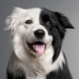 Close-up of Border Collie Stock Photography