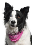 Close-up of Border Collie Stock Photos