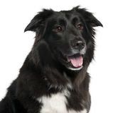 Close-up of Border Collie, 5 years old Royalty Free Stock Photography