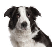 Close-up of Border Collie, 7 months old Stock Photos