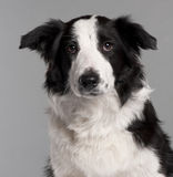 Close-up of Border Collie, 7 months old Royalty Free Stock Photography