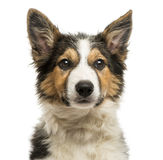 Close-up of a Border collie facing, isolated Royalty Free Stock Images