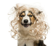 Close-up of a Border collie with a glamorous blond wig. Isolated on white Stock Photography