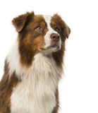 Close-up of a Border collie Royalty Free Stock Photography