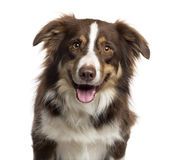 Close up of a Border Collie isolated on white Royalty Free Stock Photography