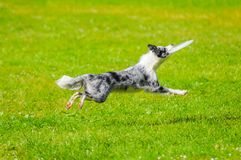 Close up on Border collie jumping with toy Royalty Free Stock Photos