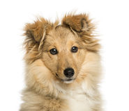 Close-up of Border Collie, looking at the camera Royalty Free Stock Photos