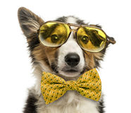 Close-up of a Border collie with old fashioned glasses Stock Photos