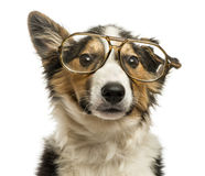 Close-up of a Border collie with old fashioned glasses royalty free stock photo