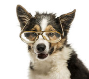 Close-up of a Border collie with old fashioned glasses, isolated Stock Photo