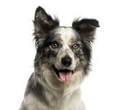 Close-up of a Border collie panting, isolated Stock Images