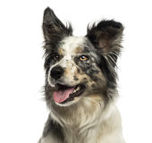Close-up of a Border collie panting, looking away, isolated royalty free stock images