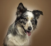 Close-up of a Border collie panting, with provocative look. On a brown gradient background Royalty Free Stock Image