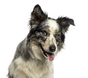 Close-up of a Border collie panting, with provocative look Stock Images