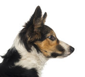 Close-up of a Border collie profile, isolated Stock Photos