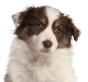 Close-up of Border Collie puppy, 2 months old Stock Photo
