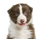 Close-up of a Border Collie puppy Stock Photos
