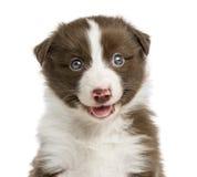 Close-up of a Border Collie puppy Stock Photos