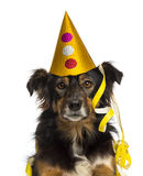 Close-up of a Border collie wearing a party hat, Stock Photos