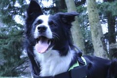 Border collie in the woods stock photo